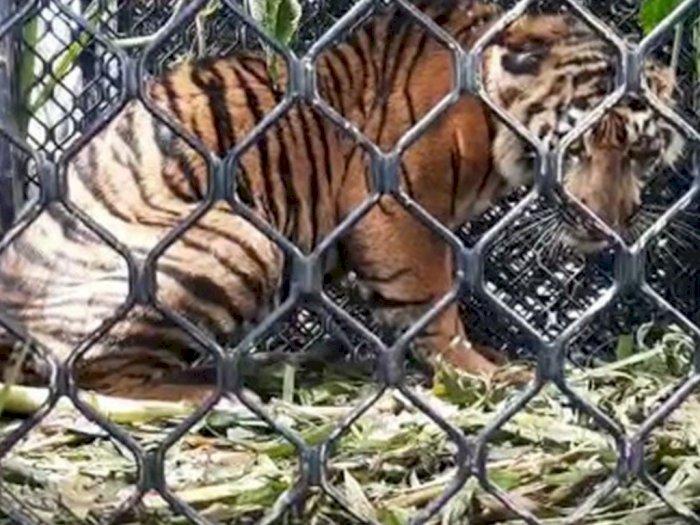 Harimau Sumatra yang Terjebak di Aceh Tenggara itu Terjerat di Bagian Kaki Depan Kanan