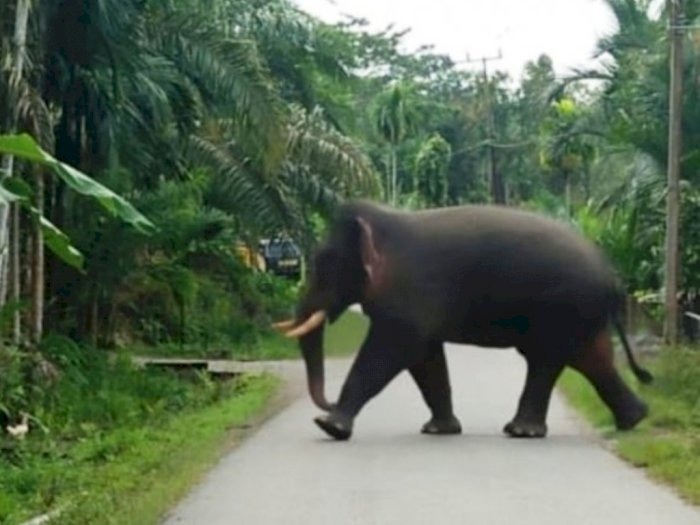 Gajah di Nagan Raya Rusak Kebun dan Rumah Milik Warga, Syukur tak Ada Korban Jiwa