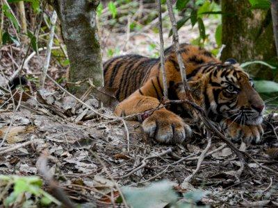 FOTO: Anak Harimau Sumatera Terjerat di Aceh