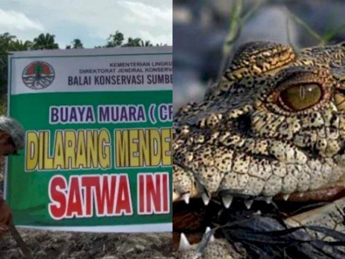 Buaya Ganas Bertelur di Ladang Sawit Warga, BKSDA Pasang Spanduk 'Jangan Mengganggu'