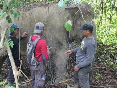 Gajah Liar Kembali Obrak-abrik Kebun Warga di Aceh Timur, Kali Ini Jumlahnya Lebih Banyak