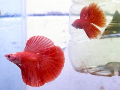FOTO: Bisnis Salon Ikan Cupang Hias