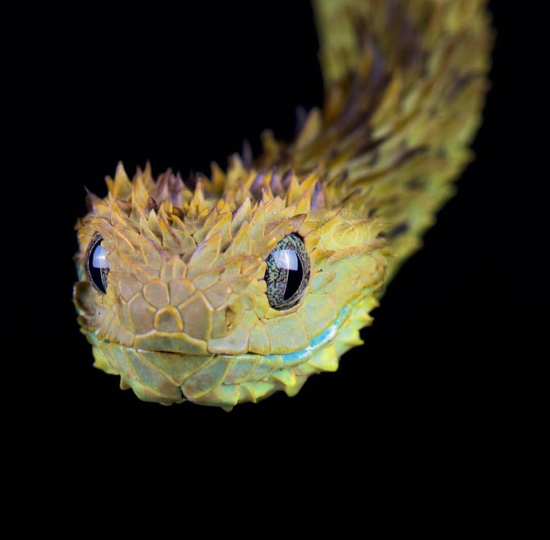 Spiny bush viper / ular semak berduri.