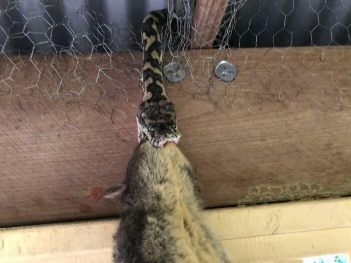 ular santap hewan lebih besar dari tubuhnya