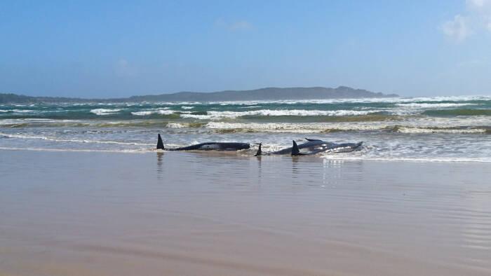 Paus pilot yang terdampar terlihat di atas pasir di Macquarie Heads