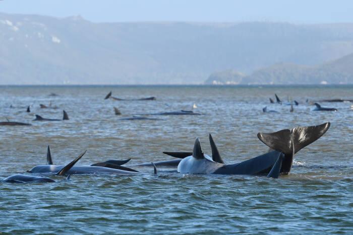 Sekelompok paus, yang diyakini sebagai paus pilot, terlihat terdampar di atas pasir di Pelabuhan Macquarie