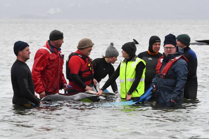 Upaya penyelamatan paus yang terdampar
