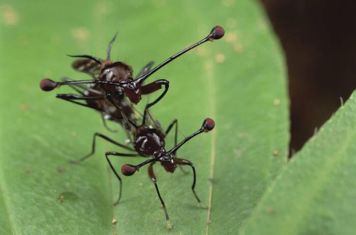 Lalat bermata batang (Stalk-eyed flies).