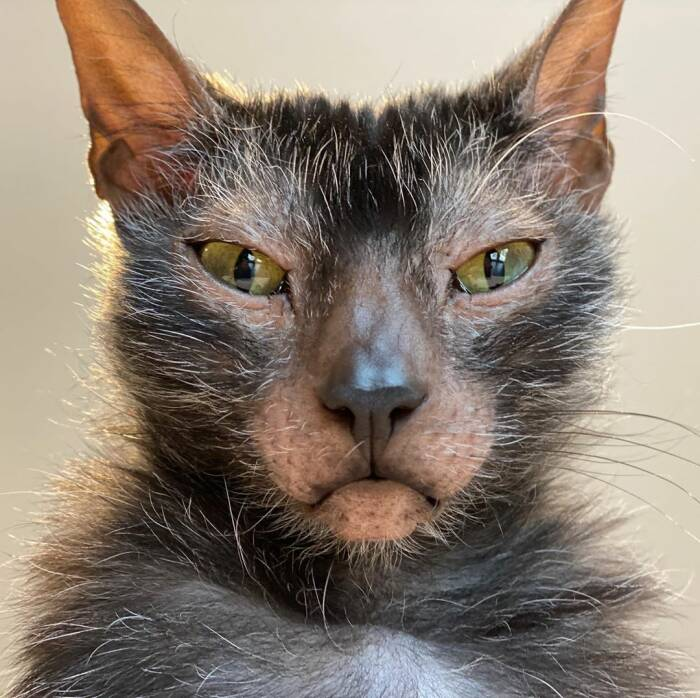 Pesona Kucing Werewolf Yang Langka Dan Mahal Indozone Id