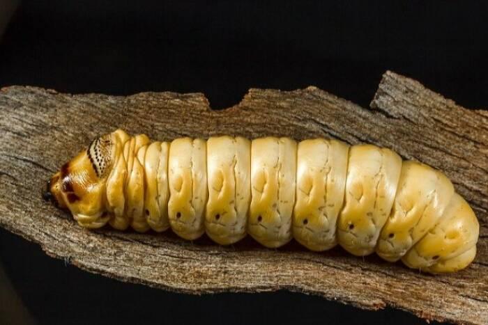 Larva ngengat, the witchetty grub.