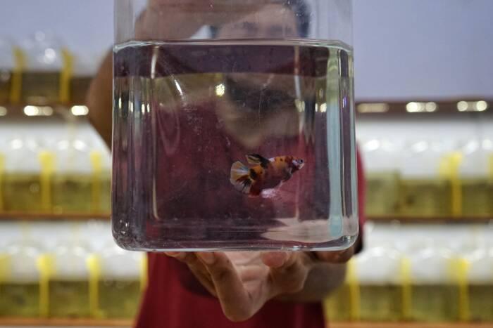 Peternak menunjukan ikan betta atau cupang yang siap dipasarkan