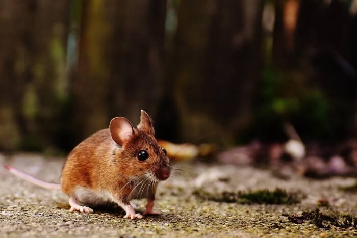 Wilayah Alberta di Kanada yang bebas tikus.