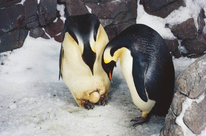 Ilustrasi penguin dan telurnya. (