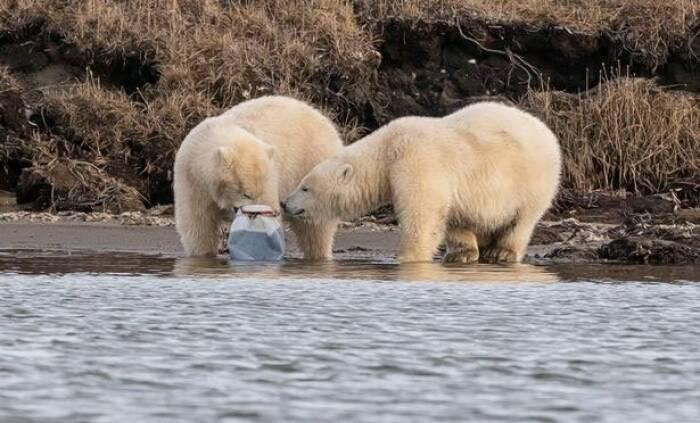 Berung kutub memperebutkan potongan plastik.
