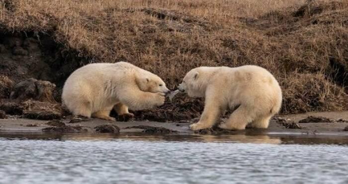 Beruang kutub memperebutkan potongan plastik