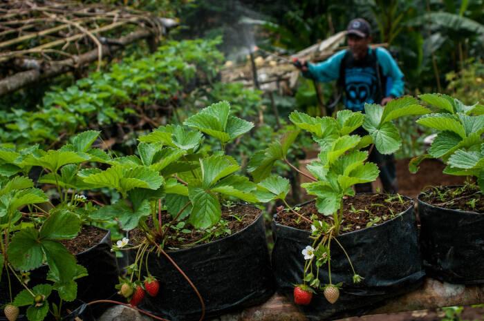 Petani gabungan kelompok tani (gapoktan) Mutiara Bumi merawat tanaman buah strawberry di Kebun Strawberry Cibeber