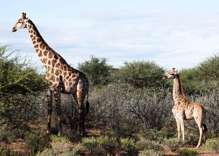 Penemuan jerapah mini di Afrika