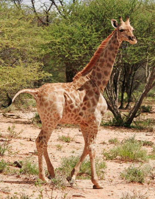 Penemuan jerapah pendek di Afrika