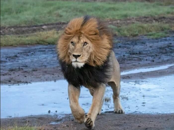 Potret singa melompati sungai tertangkap kamera
